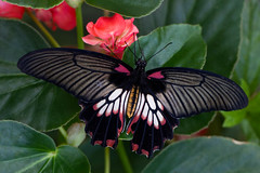 Asian Swallowtail (Papilio lowi) (Eric Gofreed) Tags: butterfly insects asianswallowtail greatyellowmormon papiliolowi butterfywonderland