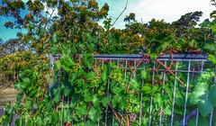 Our crop of grapes (Aussie~mobs) Tags: plant fence harvest vine grapes bunch