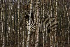 Zebra (jopperbok) Tags: zebracamouflage wildlife birch nature woods tree trees boom bomen berk zwart wit black white jopperbok forest bos camouflage challengeclubchampion animal photoshop manipulation