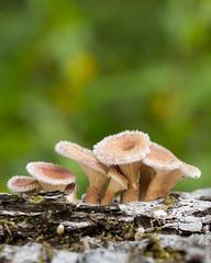 Young hairy mushroom cluster on hardwood log (meisterphotos) Tags: wild hairy nature mushroom closeup fur stem furry flora young fungi cap bark fungus toadstool organic immature funnel cupped gills lentinuscrinitis harirs
