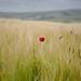 Lone Poppy by Jamie Kitson