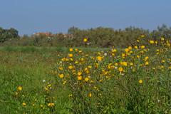 Yellow (francescasiccardi95) Tags: flowers venice yellow island country campagna giallo fiori venezia isola santerasmo