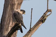 Peregrine falcon (Falco peregrinus pealei) (Tony Varela Photography) Tags: falcon peregrinefalcon falcoperegrinus falcoperegrinuspealei photographertonyvarela