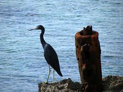 IMG_3109_fix (goatling) Tags: sea bird island shore tropical tropic caribbean cayman carib caymanislands tropics grandcayman caribe westbay westindies britishwestindies ironshore gcm201412 201412gcm