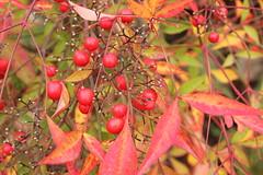 Coloriamo il nuovo anno (Anfora di Cristallo) Tags: natura autunno bacche colori nandinadomestica