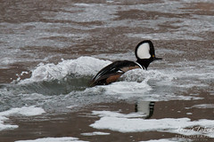 Hooded Merganser Makes a Landing