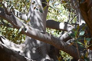 DSC_2400 Moreton Bay fig (Ficus macrophylla), Waite Arboretum, Uni of Adelaide