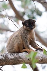 So cute! The common brown lemur.