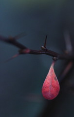 Drop (GinelliGino) Tags: pink winter red grey frozen leaf bare drop minimal single thorn simple chill midwinter canonef100mmf28macro