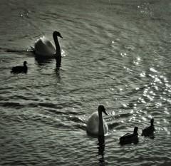 Au fil de l'eau... (Nobody's perfect...) Tags: swan lyon rhne cygne canard