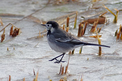 Frozen Reed Bed Visitor (Hugobian) Tags: bird ice nature birds animal fauna frozen wildlife reserve rye freeze pied wagtail meads rspb