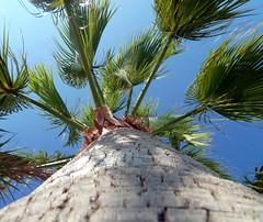 palmtree (Jimbo23King) Tags: blue sun holiday tree green spain bluesky palmtree majo majorca