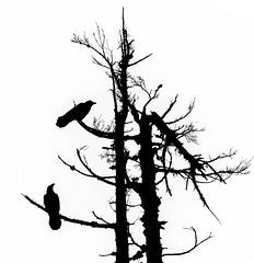 Ravens (MarkDonovanVancouver) Tags: blackandwhite bw tree vancouver blackwhite nikon bc britishcolumbia minimal mtseymour northvancouver yvr raven d800 dogmountain markdonovan dinkypeak milovosch d5photocom d5photo