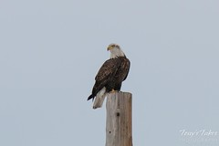 January 3, 2015 - A Bald Eagle rests above the South Platte River south of Thornton. (Tony's Takes)