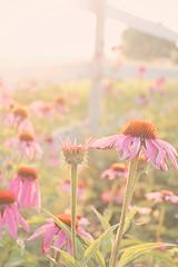 soft morning light (*vanessa.) Tags: summer sunlight flower canon echinacea daisy hazy magichour softlight florabella florabellaactions summer2014