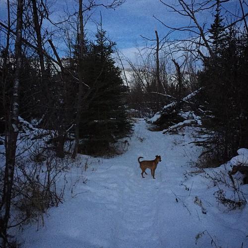 Morning dog walk along #Yukon River trails, a balmy -1C, pleasant for the North #yxy