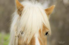 cuteness (mariola aga) Tags: portrait horse closeup head crest cuteness mane braid thegalaxy