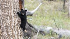 Hanging out (jrlarson67) Tags: bear wild black tree animal cub nationalpark wildlife climbing yellowstone