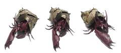 Hermit crab - Satoshi Kamiya (Mariano Zavala B) Tags: crab hermit satoshi cangrejo kamiya ermitao