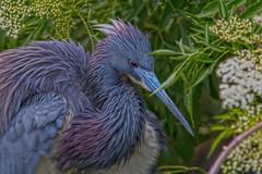 Tricolored Heron (Stephen J Pollard (Loud Music Lover of Nature)) Tags: egrettatricolor garcetatricolor garzatricolor heron garza bird ave nature naturaleza fauna wildlife