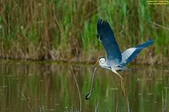 il cenerino e la biscia (taronik) Tags: natura uccelli acqua animali preda biscia cacciafotografica aironecenerino