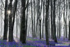 Bluebells in Foggy Morning (John Fn Photography) Tags: uk greatbritain morning pink flowers blue trees england sun plant flower beautiful forest sunrise carpet dawn golden countryside woodlands nikon europe estate purple unitedkingdom britain gb growing trunks straight nationaltrust forestfloor magical bluebell hertfordshire perennial d800 herts 2470mm 2470mmf28 hyacinthoidesnonscripta countryestate ashridgeforest manfrottotripod ashridgeestate commonbluebell ringshall nikkor2470mm constantaperture nikonfx