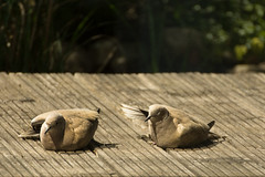 Warming Up (ZoneFlow) Tags: sun nikon pigeon warmth d7200