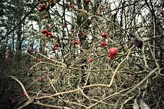 red berries bush (camerito) Tags: red austria sterreich bush flickr berries krnten carinthia beeren strauch j4 rote nikon1 camerito