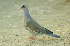 Aruba Dove (chumlee10) Tags: bird eye dove ring aruba