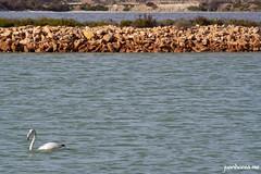 Laguna salada y flamenco (juanhorea.me) Tags: sea espaa mar spain murcia mediterraneansea sanpedrodelpinatar salinasyarenalesdesanpedrodelpinatar marmediterrrneo