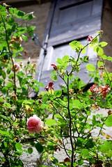 En dessous, le rosier (CeriseBleuePhoto) Tags: france nature fleur rose montpellier fenetre volet