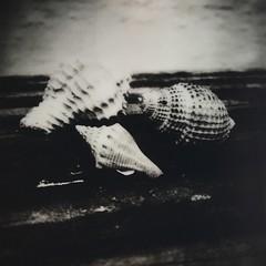 Little Shells (dreamscapesxx) Tags: shells seashells blackwhite instant inthebackyard saintpetersburgfl theimpossibleproject snapitseeit instantlab impossiblebw600gen20film