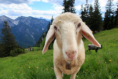 "She looked at me sheepishly and said, ""my momma don't like you... (Geolilli) Tags: portrait mountains alps up animals canon landscape heidi close sheep bell personal you farm joke like dont jokes momma shepherds sheepishly"