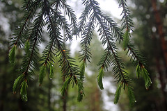 Rainy forest (Ib Aarmo) Tags: tree spruce branch needles raindrops drops water green outdoor nature