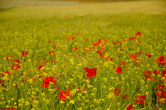 Colores (lugarlu) Tags: naturaleza flores amapolas nikond7000