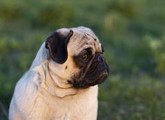 Pug (Deep-Fried Goodness) Tags: dog cute pug dexter