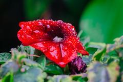 More beautiful from the rain (Mario_Panda) Tags: red flower water rain 50mm md minolta fujifilm f2 raindrop xe1