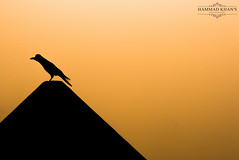 It's almost Sunset. Time to go home (Hammad Khan's Photography) Tags: new city roof pakistan light sunset summer sky orange sun black colour bird art nature lines animal silhouette yellow golden aperture flickr outdoor air birding iso explore symmetrical crow karachi tamron shutterspeed lightroom ruleofthirds tamronlens nikonphotography d7100 flickrpakistan nikond7100