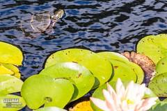 Turtle Photobomb (The Suss-Man (Mike)) Tags: flowers flower nature animal georgia waterlily unitedstates turtle reptile gainesville botanicalgarden hallcounty thesussman sonyslta77 sussmanimaging gainesvillebotanicalgarden atlantabotanicalgardeningainesville