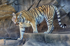 tread lightly (ucumari photography) Tags: sc animal june mammal south tiger columbia bigcat carolina siberian amur riverbankszoo 2016 specanimal ucumariphotography dsc5219