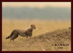 CHEETAH CUB (Acinonyx jubatus).....MASAI MARA....SEPT 2015 (M Z Malik) Tags: africa nikon kenya wildlife ngc safari npc cheetah kws masaimara cheetahcubs flickrbigcats exoticafricancats d800e exoticafricanwildlife 400mmf28gedvr