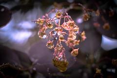 jewellery (Fay2603) Tags: light plant reflection nature water licht bush wasser outdoor natur pflanze waterdrops blte busch jewel wassertropfen schrfentiefe schein schmuckstck fujixe1 perckenbusch