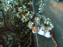 Cats Edition 7 - (24) (Robert Krstevski) Tags: flowers pet cats pets tree animal animals fauna cat spring kitten blossom bees kitty kittens bee macedonia kitties robertkrstevski robertkrstevskiblogspotcom