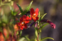 Red Bush Monkey Flower at San Mateo Canyon Wilderness, Riverside Co. CA (OC Hiker) Tags: california plants bearcanyontrail riversidecounty redbushmonkeyflower sanmateocanyonwilderness diplacuspuniceus afsdxnikkor55300mmf4556gedvr nikond5300 05302016