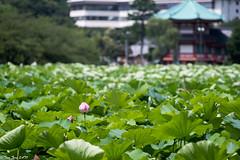 Shinobazu-ike in Ueno (shui.sa) Tags: japan tokyo pentax lotus takumar smc f4 k1 200mm 2016 supermulticoated smct