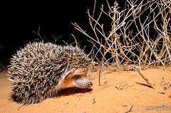 Long-eared Hedgehog (Hemiechinus auritus) -   (shanicy) Tags:     mammal nature israel negev dunes