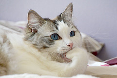 portrait chat /cat portrait _6612 (ichauvel) Tags: chat cat flin feline animal pet yeux eyes bleu blue ragdoll portrait close up interieur inside expression attitude cool beaut beauty blanc white lcher patte oreilles ears france europe western paris ile de
