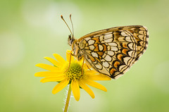 Melitaea (Marcin Boch) Tags: flower colors butterfly insect spider dragonfly naturallight stackfocus nikond7000 afsdxmicronikkor85mmf35gedvr