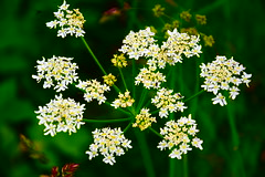 Clusters // Beauty On A Small Scale (MattCoulson) Tags: flowers summer white plant flower green nature beautiful field yellow closeup contrast point countryside stem aperture nikon pretty zoom blossom outdoor vibrant background wildlife cluster low blurred depth focal d5500