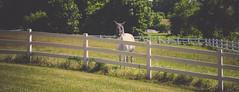 Zorro (InkedCrow) Tags: horse white farm fence mask